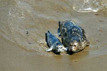 harbor seal mom and pup, CA