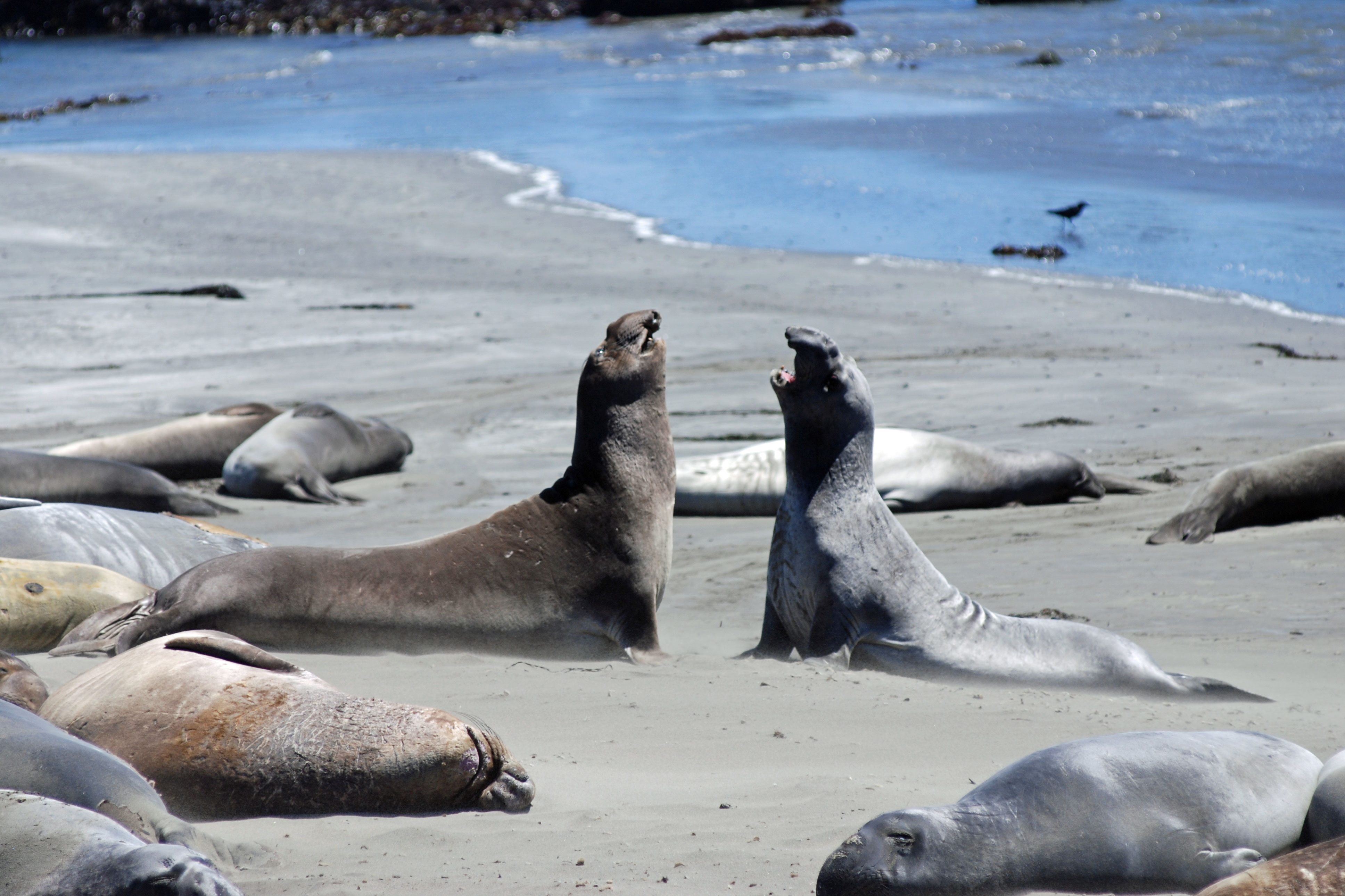 elephant seals at Piedras Blancas rookery, San Luis Obispo County, CA