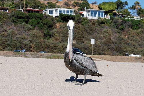 Pelican on Will Rogers State Beach, Los Angeles County, CA
